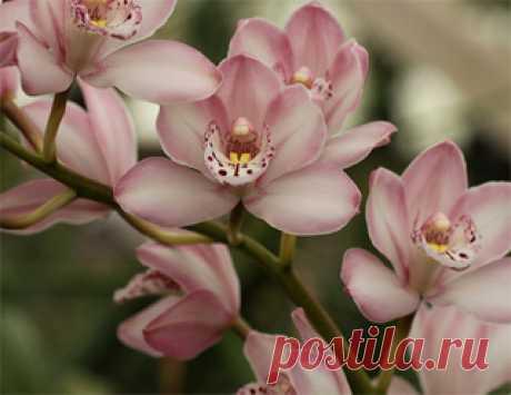 """Домашняя орхидея – уход, пересадка, размножение Вокруг изысканной красавицы орхидеи существует множество весьма противоречивых примет. Восторженные почитатели этой величавой царицы тропиков утверждают, что, при обеспечении орхидее заботливого ухода, она приносит в дом семейное счастье, взаимопонимание и гармонию. Другие же остерегаются селить экзотический цветок в своем жилище, в силу того, что он якобы является настоящим вампиром, """"пьющим кровь"""" и отнимающим энергию у его..."""