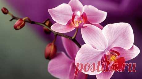 Орхидея — комнатная культура