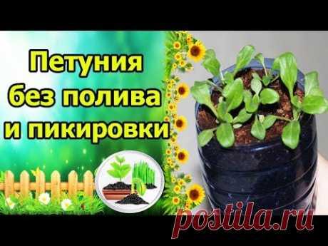 Есть разные способы выращивания рассады петунии. Сегодня я расскажу о способе, который не требует от цветовода постоянного наблюдения за рассадой, полива и п...