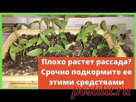 Чем подкормить рассаду перцев, если она плохо растет: подкормка народными средствами