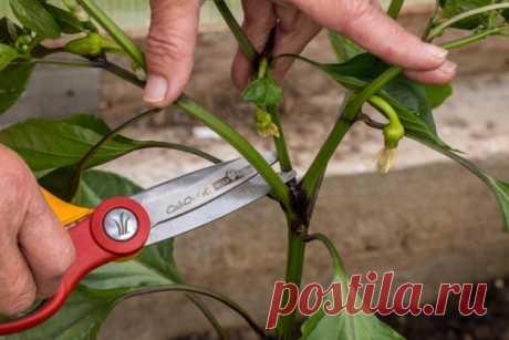 Почему нужно обрывать листья у огурцов: когда и как это делать правильно