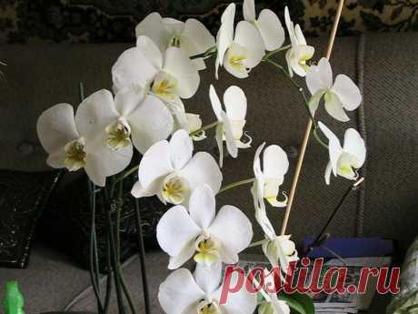Любителем орхидей. Размножение - легко и просто