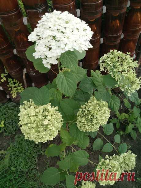 Гортензия древовидная «Abetwo» (Hydrangea arborescens «Abetwo»)