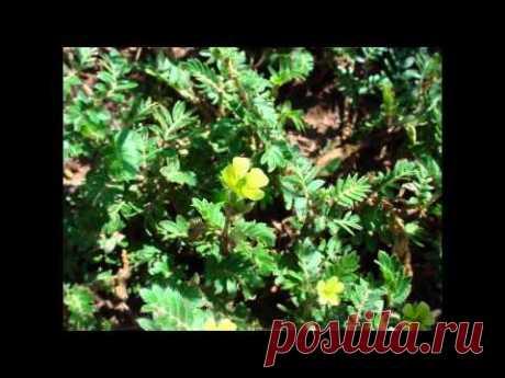 Yakortsa creeping (land): advantage of dry extract of a grass, preparations, application, contraindications, photo