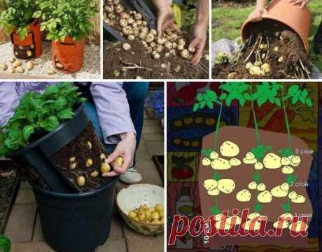 Как обеспечить семью урожаем, выращенным буквально из 10 картофелин