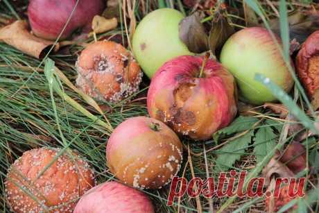 Эксперт рассказал, что нужно обязательно делать, если яблоки игруши гниют прямо надеревьях | REALTY.TUT.BY