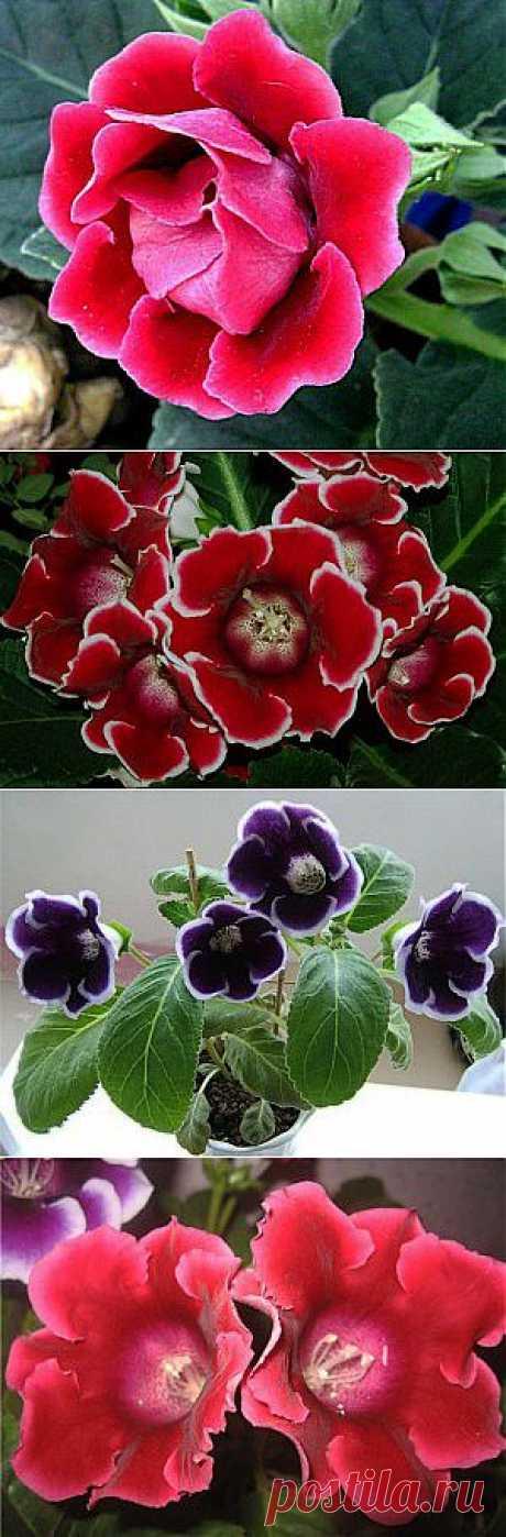 Цветы глоксиния. Уход и выращивание глоксинии. Фото глоксиний, размножение и посадка.