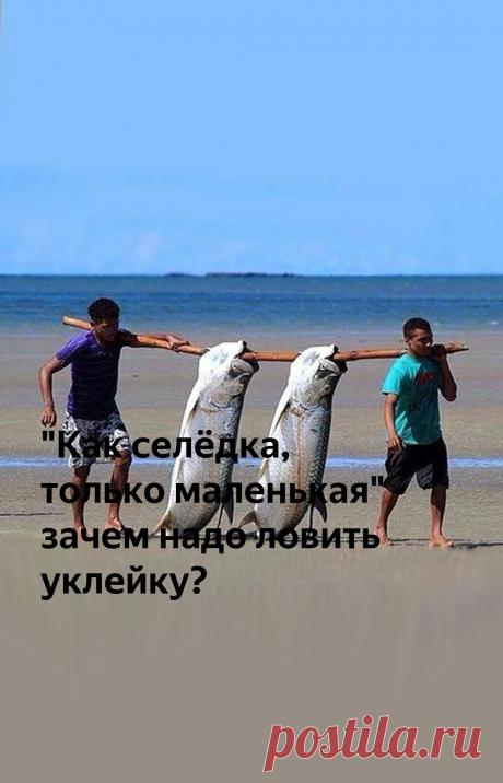 """""""Как селёдка, только маленькая"""" - зачем надо ловить уклейку?   Рыбалка для людей   Яндекс Дзен"""
