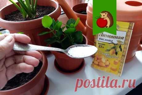 Зачем цветоводы (я в том числе) добавляют лимонную кислоту в воду для полива комнатных растений? | садоёж | Яндекс Дзен