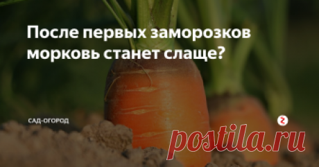 После первых заморозков морковь станет слаще? Разбираемся правда это или нет и как поступить правильно