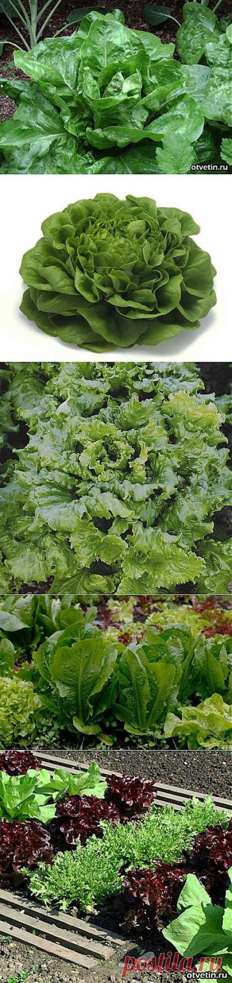 Агротехника выращивания салата,обзор популярных сортов.