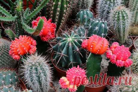 Кактус — цветок для самых ленивых