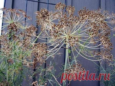 Лечебные свойства семян укропа, применение в медицине, видео