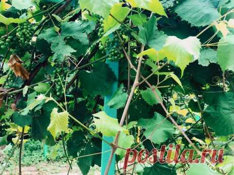 Пасынкование винограда. Как и когда пасынковать виноград?