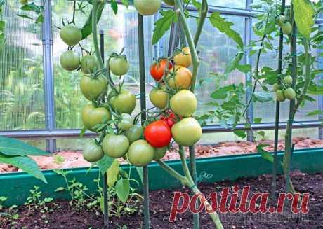 Проведение процедуры подкормки помидоров в теплице Подкормка помидоров в теплице требует от овощевода определенных знаний и усилий, так как этот тип выращивания овощей имеет кардинальные отличия от методики выращивания на открытом воздухе. При уходе з...
