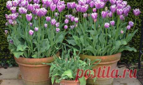 Замечательные весенние цветы тюльпаны выращивает практически каждый дачник. Обилие сортов, неприхотливость, разнообразие размеров и времени цветения — всё говорит в