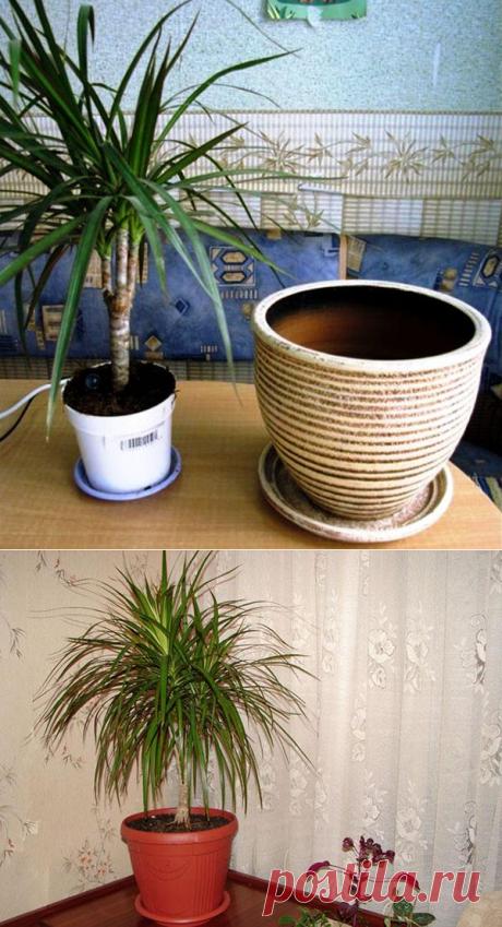 Как пересадить драцену, чтобы не навредить растению?