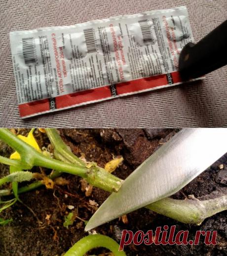 Кольцевание огурцов — простой, но малоизвестный способ увеличения урожая
