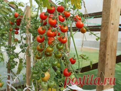 «Волшебный бальзам» для роста помидоров от садовода-огородника Владимира Андриянина.