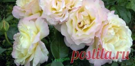 Выбираем сорта роз, которые цветут все лето и практически не болеют – Моя дача