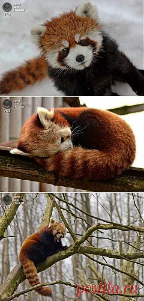 Малая панда — милейший зверёк | ЛЮБИМЫЕ ФОТО