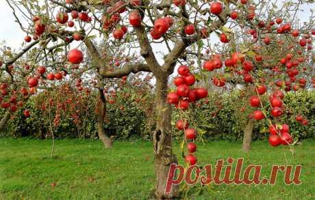 Ветви будут гнуться под весом плодов: первая и самая важная обработка яблони и груши в апреле
