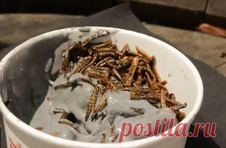 Лакомство с насекомыми для американцев из Калифорнии | Виталий из Италии | Яндекс Дзен