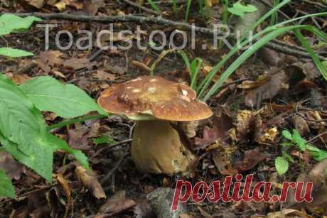 Запись о поиске белых | Это грибы! | Яндекс Дзен