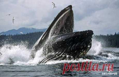 Низкочастотный крик горбатого кита - самый громкий звук, изданный живым существом.