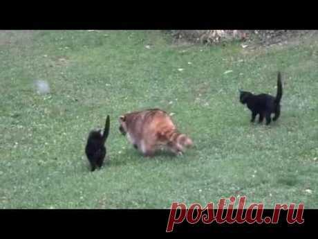 Слепой енот спас двух котят / Питомцы