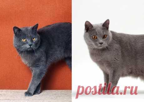 10 похожих пород кошек. Сможете ли вы отличить их друг от друга | PetTips