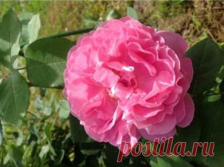 Многолетние растения, которые цветут все лето   Многолетние растения, цветущие с начала и до конца лета : Астранция крупная (Astrantia major)  Красивое многолетнее растение около 70 см высотой. Начинает цветение в июне, заканчивает – в августе, е…