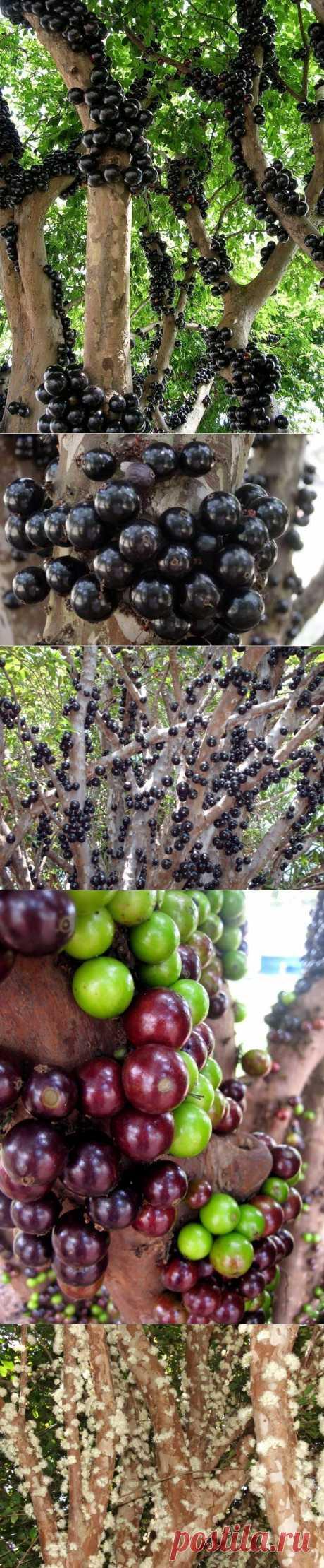 Жаботикаба – дерево с плодами, растущими из ствола.