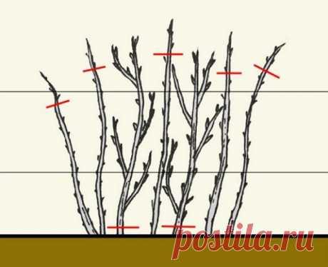 Как правильно обрезать малину весной, летом и осенью | Малина, ежевика (Огород.ru)
