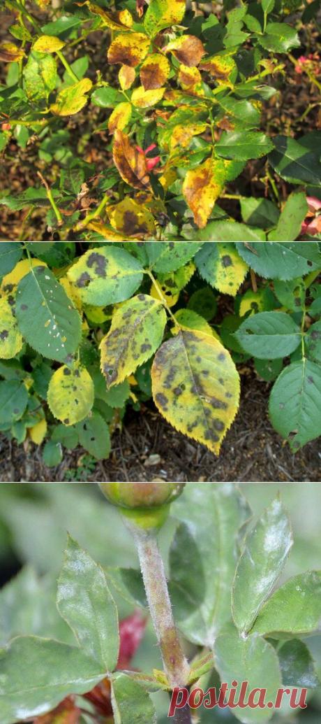 Заболевания садовых роз определяем по листьям. Способы лечения | УСА | Яндекс Дзен