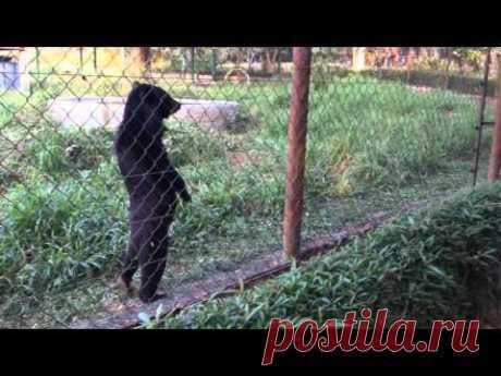 Медведь освоил человеческую походку / Видео / Моя Планета