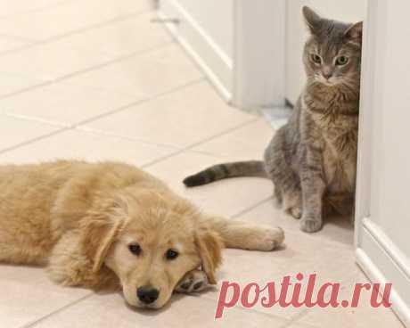 Golden Retriever Puppy and Cat | Flickr - Photo Sharing! Щенок золотистого ретривера и кошка