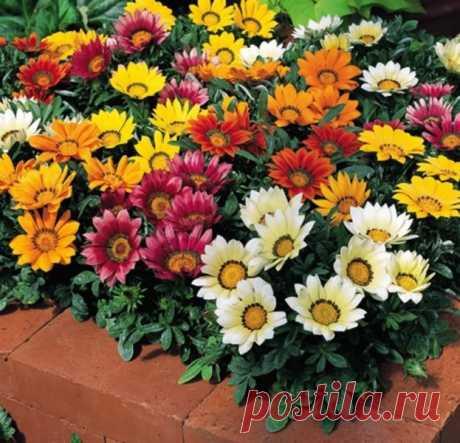 Цветы. Заметки садовода. Посевы гацании зимой.  Когда сеять гацанию, каждый решает сам. Но необходимо понимать, что от сроков посева зависит начало цветения. Рассаду придется выращивать не менее четырех месяцев, поэтому цветоводы, занимающиеся гацанией профессионально, начинают посевы уже в декабре. Посеяв семена в декабре – январе, уже в мае они выставляют на продажу цветущие кусты гацании. Для такого выращивания рассады обязательно нужна подсветка в течение почти всего п...