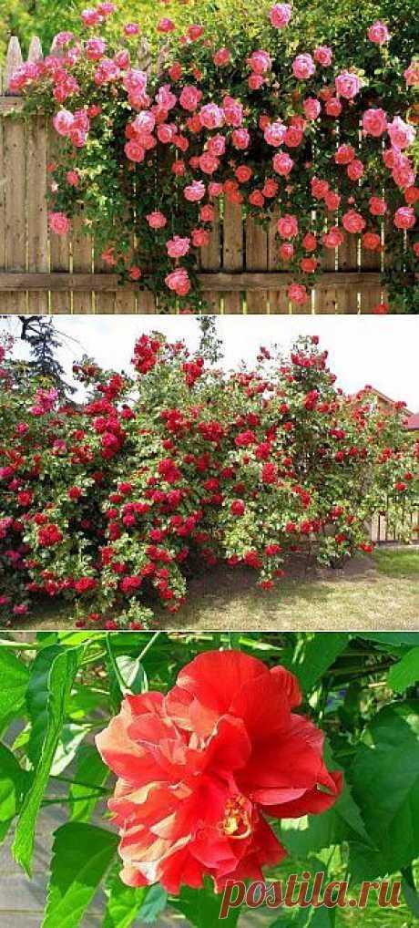 Почему розы не цветут в саду | Дача - впрок