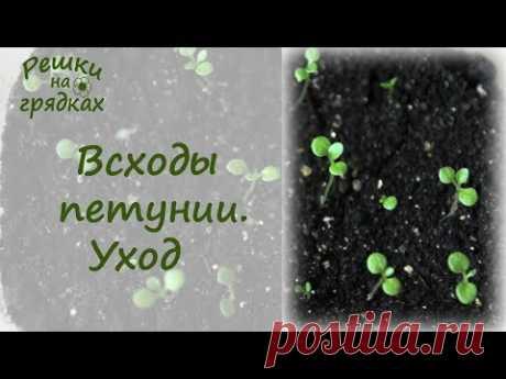 Всходы петунии / Как ухаживать за рассадой петунии после всходов - YouTube
