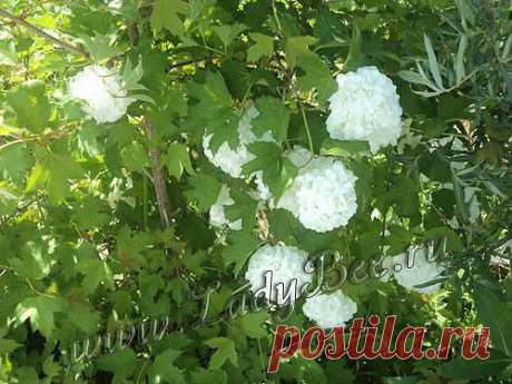 Калина (Viburnum) - комнатные растения и цветы для сада: выращивание, местоположение, температура, полив, пересаживание, размножение, болезни и вредители