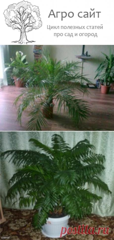 Хамедорея элеганс - уход в домашних условиях с фото и видео
