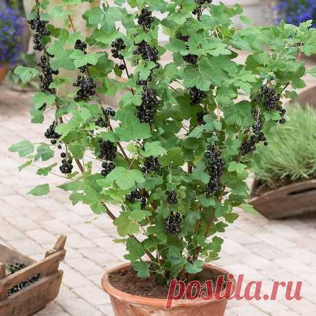Do not throw out a currant branch after autumn cutting!