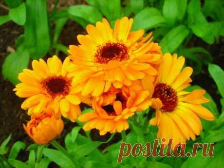 ЦВЕТЫ БЕЗ РАССАДЫ Какие холодостойкие цветы можно посеять сразу в грунт?  Большинство цветов из-за холодных погодных условий приходится выращивать через рассаду. Но некоторые цветы достаточно холодостойки, чтобы сеять их сразу в открытый грунт. Они неприхотливы и не требует особого ухода, зато зацветают уже чер