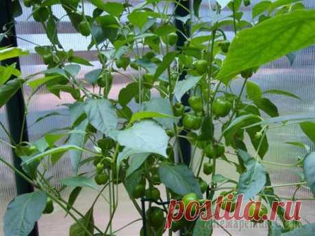 Перец в теплице: посадка, уход, формирование куста и удобрение