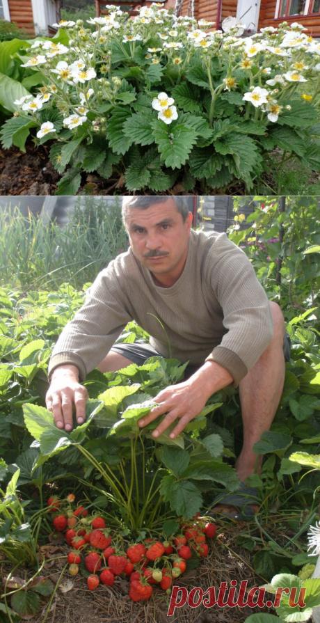 La cultivación remontantnoy las fresas – la plantación y el cuidado ella