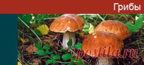 Грибы съедобные - фото грибов с названиями, описание, информация.