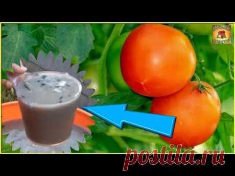 Подкормите СРОЧНО этим ТОМАТЫ В АВГУСТЕ для хорошего созревания помидор ДАЧНЫЕ СОВЕТЫ - YouTube