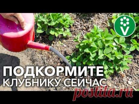 🍓ХОТИТЕ МНОГО КРУПНОЙ И СЛАДКОЙ КЛУБНИКИ? Подкормите ЭТИМ удобрением во время цветения