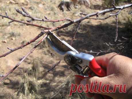 Как обрезать абрикос осенью: инструкция для начинающих